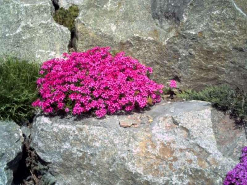 Почвопокровные садовые растения в альпинарии