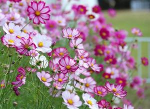 Космея - чудесный цветок