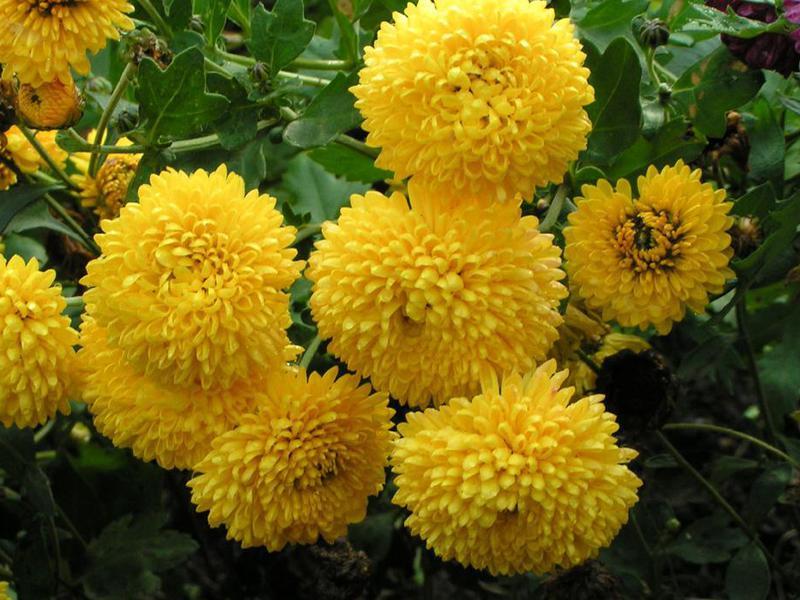 Цветы хризантемы посадка и уход