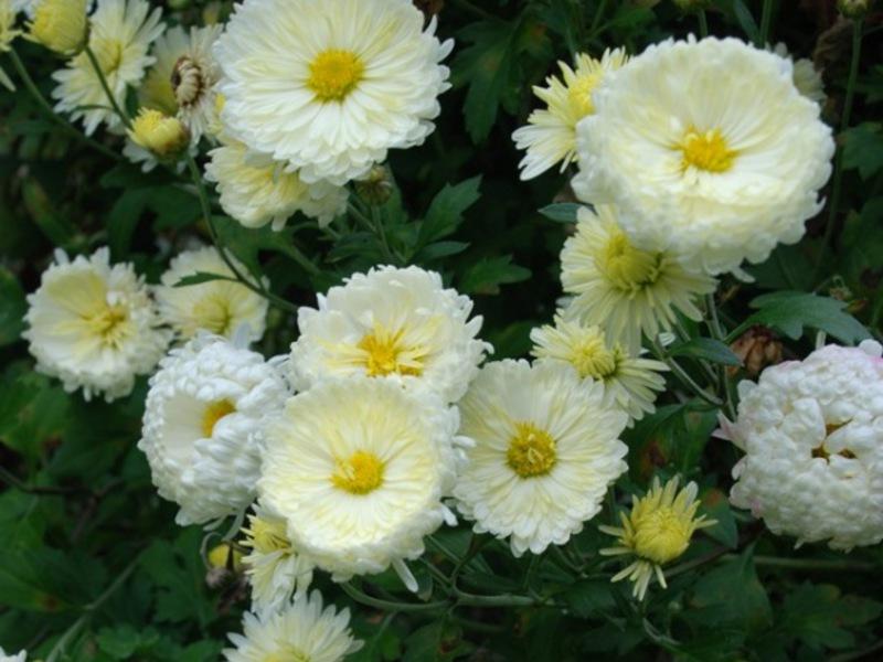 садовые хризантемы сорта