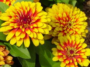 Красивый цветок под названием циния