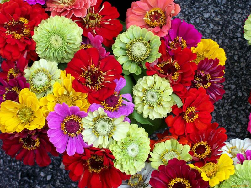 Панычи цветы