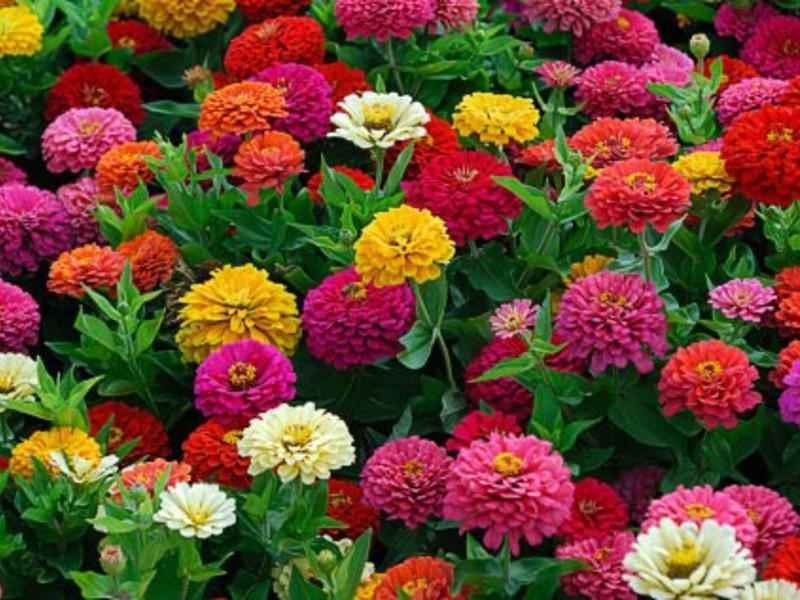 Окрас цветка циния