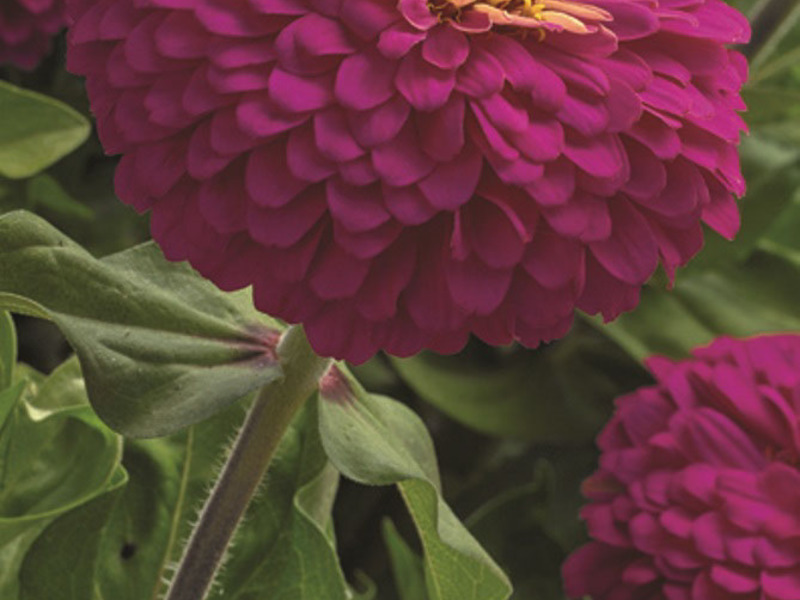Цветы Цинния