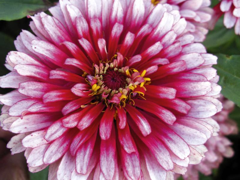 Как посеять цветок циния