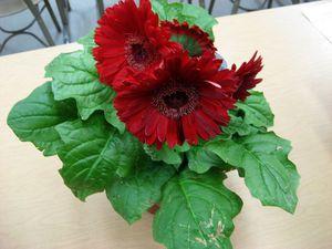 Гербера цветок уход