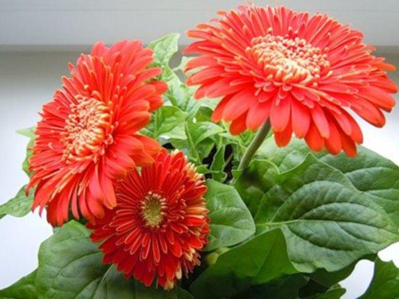 Цветени егерберы