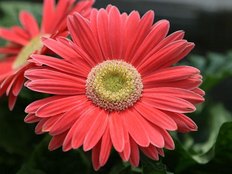 Описание цветка гербера