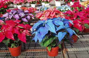 Уход за цветком рождественский звезда как вырастить и ухаживать за комнатныи цветком в домашних