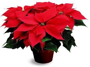 Как выглядит цветок рожденственская звезда