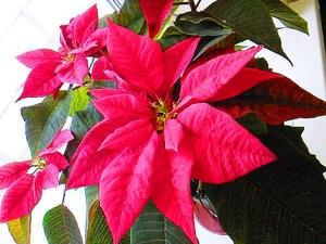 Как посадить цветок рожденственская звезда