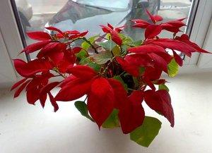 Уход за цветком рождественская звезда