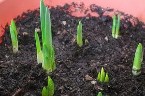 Посадка тюльпанов, как и когда сажать луковицы - Дачные советы 84