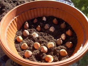 Как сажать тюльпаны весной в грунт, чтобы они начали цвести посадка и уход