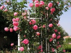 Какие условия нужны для выращивания плетистых роз