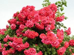 Сорта плетистых роз цветущих весь сезон для подмосковья