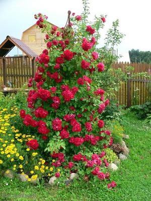 Как посадить плетистые розы