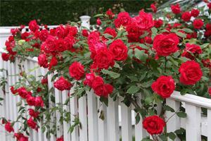 Желтые плетистые розы