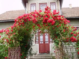 Розы плетистые сорта зимостойкие