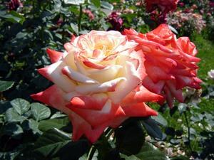 чайно гибридные розы фото