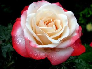 Сорта желтых чайно гибридных роз