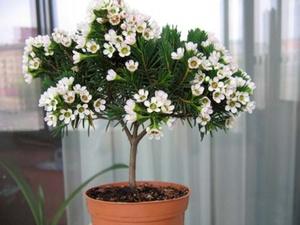 Мирт комнатный цветок