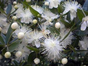 Цветок мирт обыкновенный фото
