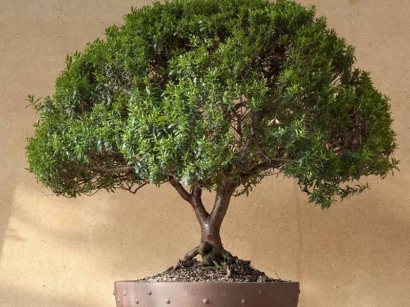 Миртовое дерево фото уход в домашних условиях