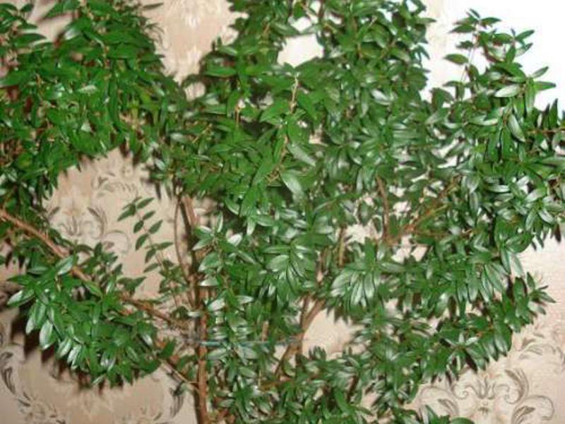 Мирт уход за цветком в домашних условиях, фото миртового дерева, особенности ухода за комнатным