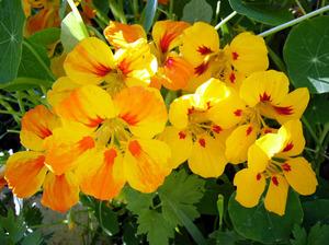Цветы настурция посадка и уход фото