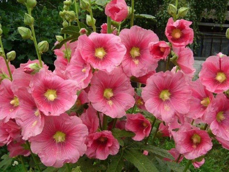 Шток роза выращивание из семян когда сажать