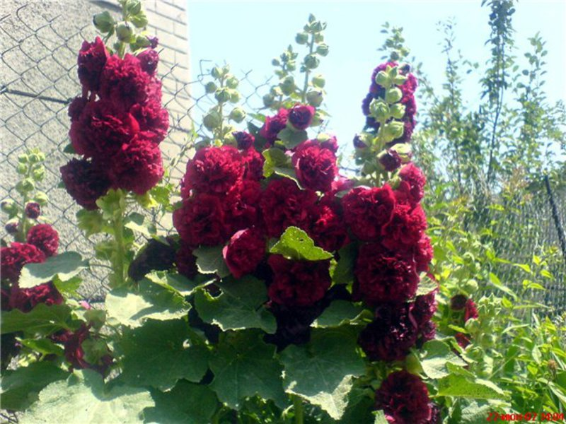 Купить семена махровой шток розы
