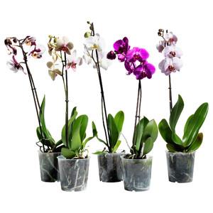 Орхидеи в горшках продаются в цветочных магазинах.