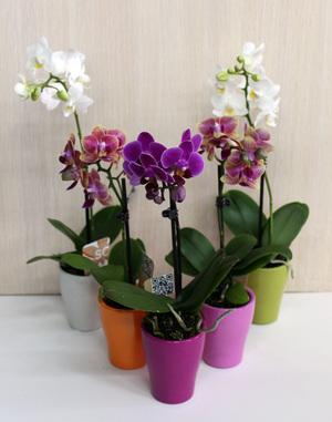 Мини-орхидея - это растение, которое не займет дома много места.