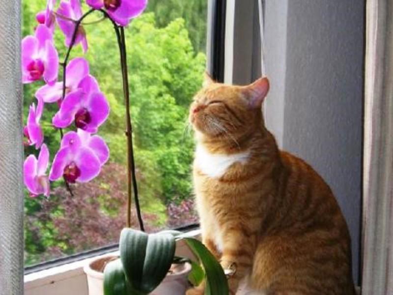 Орхидея Фаленопсис на подоконнике - великолепие в доме.