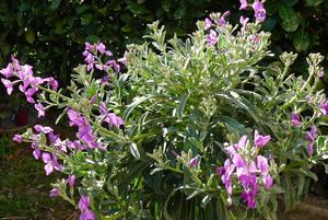 Ночная фиалка Маттиола прекрасно растет на садовых клумбах.
