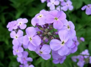 Цветение ночной фиалки - фиолетовые нежные цветы очаровывают.