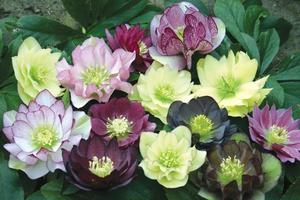 Фото морозника черного, кавказского и восточного выращивание, посадка и уход за цветком