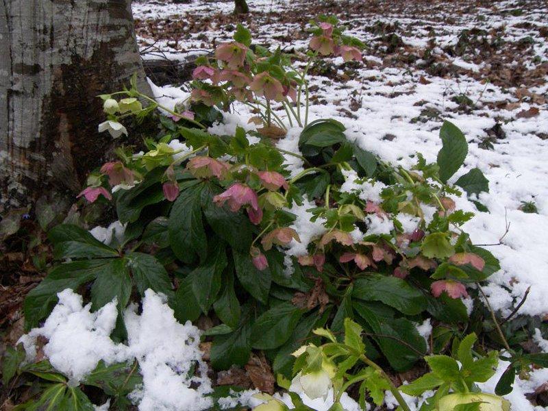 Цветок морозник и его виды