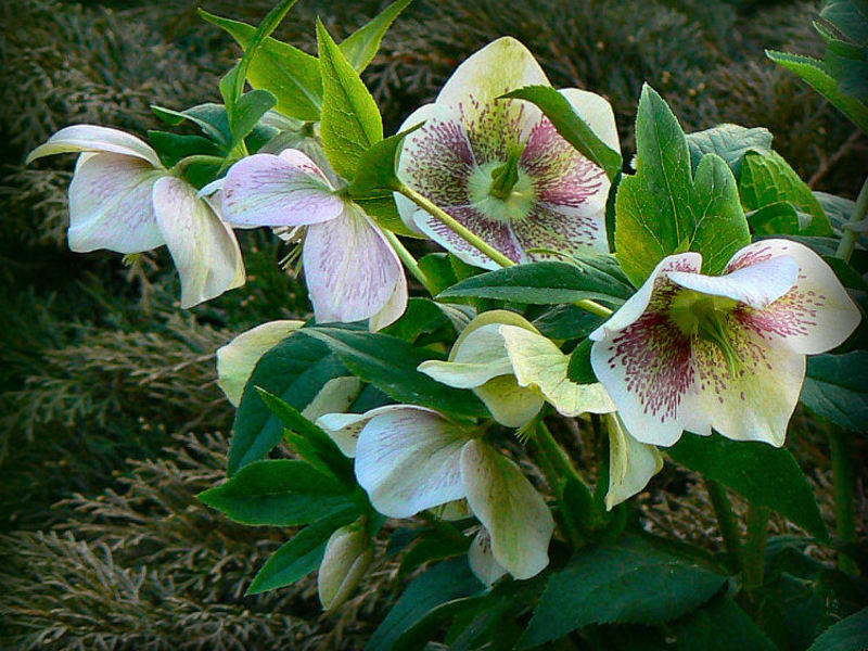 Род цветка Морозник