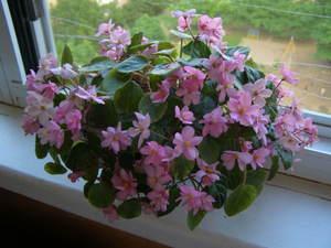 Трейлерные фиалки - красивые горшечные растения.