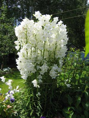 Цветы на даче-фото