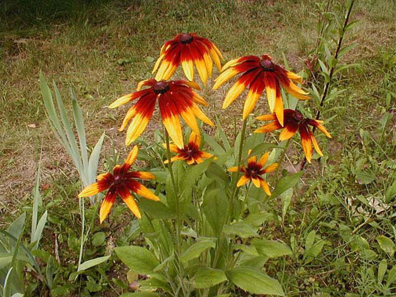 Однолетние неприхотливые цветы для дачи фото
