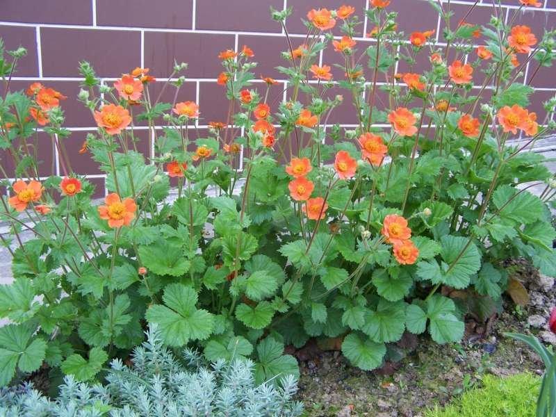 Многолетние садовые цветы для урала
