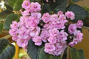 Ампельные фиалки отличаются нежно-розовыми соцветиями.