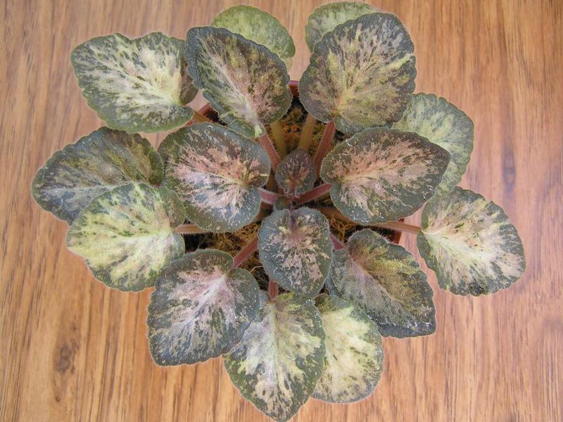 Пестролистная фиалка получила свое название по оттенку листьев.