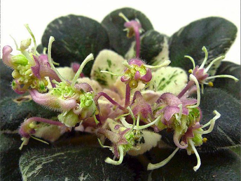 Пестролистная сенполия-оса - растение с цветами зеленоватого оттенка.