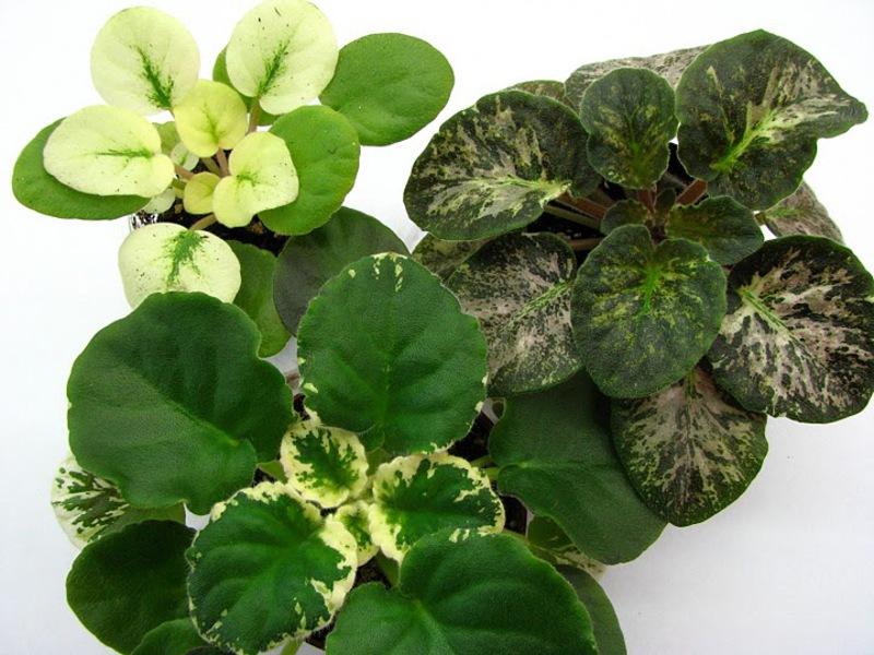 Фиалки могут иметь листья разной формы и оттенков.