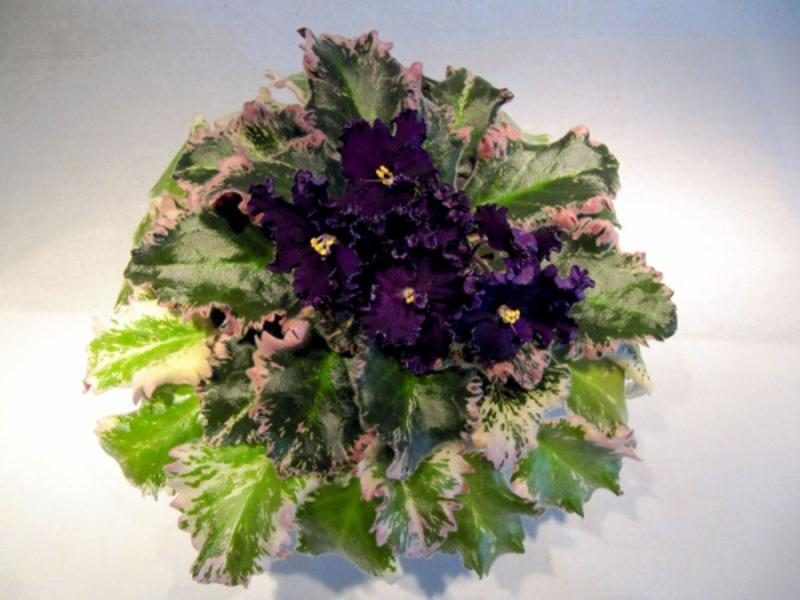 Цветут фиалки дома не так часто, как хотелось бы, но когда зацветают, дарят много радости.