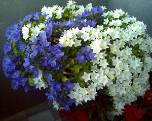 Ядовитый цветок невеста